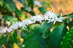 Λουλούδι Arabica του καφέ Στοκ φωτογραφία με δικαίωμα ελεύθερης χρήσης