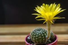 Λουλούδι Arachnacantha Lobivia Στοκ Φωτογραφίες