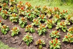 Λουλούδι argentea Celosia στον κήπο φύσης Στοκ φωτογραφία με δικαίωμα ελεύθερης χρήσης
