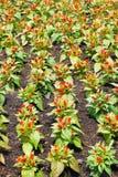 Λουλούδι argentea Celosia στον κήπο φύσης Στοκ φωτογραφίες με δικαίωμα ελεύθερης χρήσης
