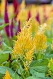 Λουλούδι argentea Celosia Στοκ Εικόνα