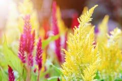 Λουλούδι argentea Celosia Στοκ εικόνες με δικαίωμα ελεύθερης χρήσης