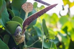 Λουλούδι Aristolochia Στοκ εικόνες με δικαίωμα ελεύθερης χρήσης