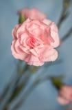 Λουλούδι arnation Ð ¡ σε ένα μπλε υπόβαθρο Στοκ Φωτογραφία