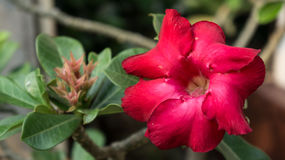 Λουλούδι Azalia Στοκ Φωτογραφίες