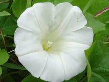 Λουλούδι bindweed Στοκ Εικόνες