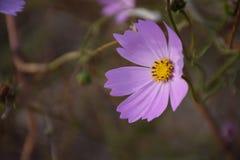 Λουλούδι bipinnata κόσμου στοκ εικόνα με δικαίωμα ελεύθερης χρήσης