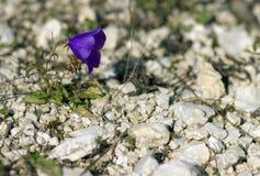 Λουλούδι Bluebell Στοκ εικόνες με δικαίωμα ελεύθερης χρήσης