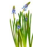 Λουλούδι Bluebells Στοκ Εικόνες