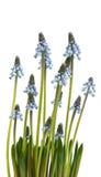 Λουλούδι Bluebells (armeniacum Muscari υάκινθων σταφυλιών) Στοκ Εικόνα