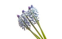 Λουλούδι Bluebells (armeniacum Muscari υάκινθων σταφυλιών) Στοκ φωτογραφίες με δικαίωμα ελεύθερης χρήσης