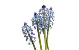 Λουλούδι Bluebells (armeniacum Muscari υάκινθων σταφυλιών) Στοκ Φωτογραφίες