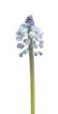 Λουλούδι Bluebells (armeniacum Muscari υάκινθων σταφυλιών) Στοκ Εικόνες