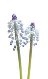 Λουλούδι Bluebells (armeniacum Muscari υάκινθων σταφυλιών) Στοκ φωτογραφία με δικαίωμα ελεύθερης χρήσης
