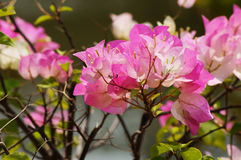 Λουλούδι Bougainvillaea Στοκ Φωτογραφίες