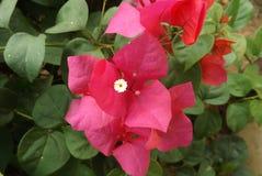 Λουλούδι Bougainvillea από την Ταϊλάνδη Στοκ Εικόνα