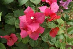 Λουλούδι Bougainvillea από την Ταϊλάνδη Στοκ φωτογραφίες με δικαίωμα ελεύθερης χρήσης