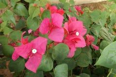 Λουλούδι Bougainvillea από την Ταϊλάνδη Στοκ Εικόνες