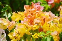 Λουλούδι Bougainvillea Στοκ Εικόνα