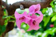Λουλούδι Bougainvillea Στοκ Εικόνες