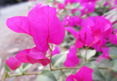 Λουλούδι Bougainvillea Στοκ φωτογραφία με δικαίωμα ελεύθερης χρήσης