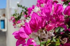 Λουλούδι Bougainvillea Στοκ εικόνες με δικαίωμα ελεύθερης χρήσης