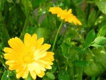 Λουλούδι Calendula στον κήπο Στοκ εικόνες με δικαίωμα ελεύθερης χρήσης