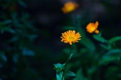 Λουλούδι-Calendula Στοκ φωτογραφία με δικαίωμα ελεύθερης χρήσης