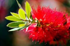 Λουλούδι Callistemon Στοκ Φωτογραφίες