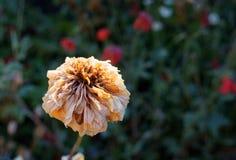 Λουλούδι Camerashy στον ήλιο Στοκ εικόνες με δικαίωμα ελεύθερης χρήσης