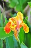Λουλούδι Canna Στοκ Εικόνες