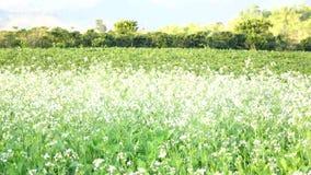 Λουλούδι Canola στον κήπο, πόλη DA Lat, επαρχία ήχων καμπάνας Lam, Βιετνάμ Στοκ Εικόνες