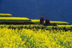 Λουλούδι Canola Στοκ φωτογραφία με δικαίωμα ελεύθερης χρήσης