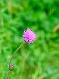 Λουλούδι Carduus nutans, κοινός musk ονομάτων κάρδος Στοκ Εικόνες