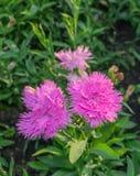 Λουλούδι Carnetion Στοκ εικόνα με δικαίωμα ελεύθερης χρήσης
