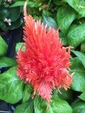 Λουλούδι Celosia Στοκ φωτογραφία με δικαίωμα ελεύθερης χρήσης