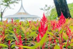 Λουλούδι celosia Plumed Στοκ Εικόνες