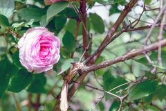 Λουλούδι centifolia της Rosa Στοκ εικόνα με δικαίωμα ελεύθερης χρήσης