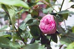 Λουλούδι centifolia της Rosa Στοκ Εικόνες
