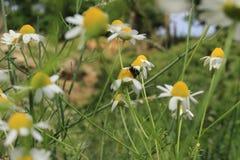 Λουλούδι chamomile με τη μέλισσα εντόμων στο βουνό στοκ φωτογραφία με δικαίωμα ελεύθερης χρήσης