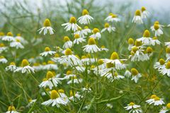 Λουλούδι Chamomile στη φύση Στοκ φωτογραφία με δικαίωμα ελεύθερης χρήσης