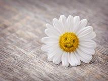 Λουλούδι Chamomile στοκ εικόνα
