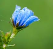 Λουλούδι Chiccory Στοκ φωτογραφία με δικαίωμα ελεύθερης χρήσης