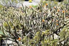 Λουλούδι Cholla Buckhorn στοκ εικόνες