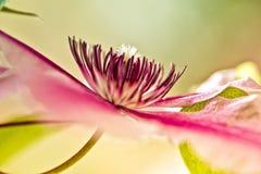 Λουλούδι Clemtis Στοκ Φωτογραφίες