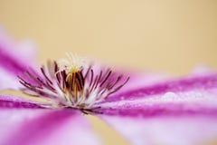 Λουλούδι Clemtis Στοκ Εικόνα