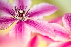 Λουλούδι Clemtis Στοκ εικόνα με δικαίωμα ελεύθερης χρήσης