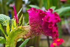 Λουλούδι Cockscomb Στοκ Φωτογραφία