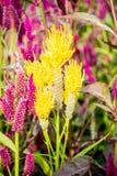 Λουλούδι Cockscomb Στοκ εικόνες με δικαίωμα ελεύθερης χρήσης