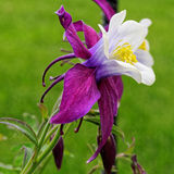 Λουλούδι Columbine Στοκ φωτογραφίες με δικαίωμα ελεύθερης χρήσης